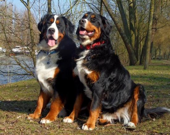 collier pour chien bouvier bernois