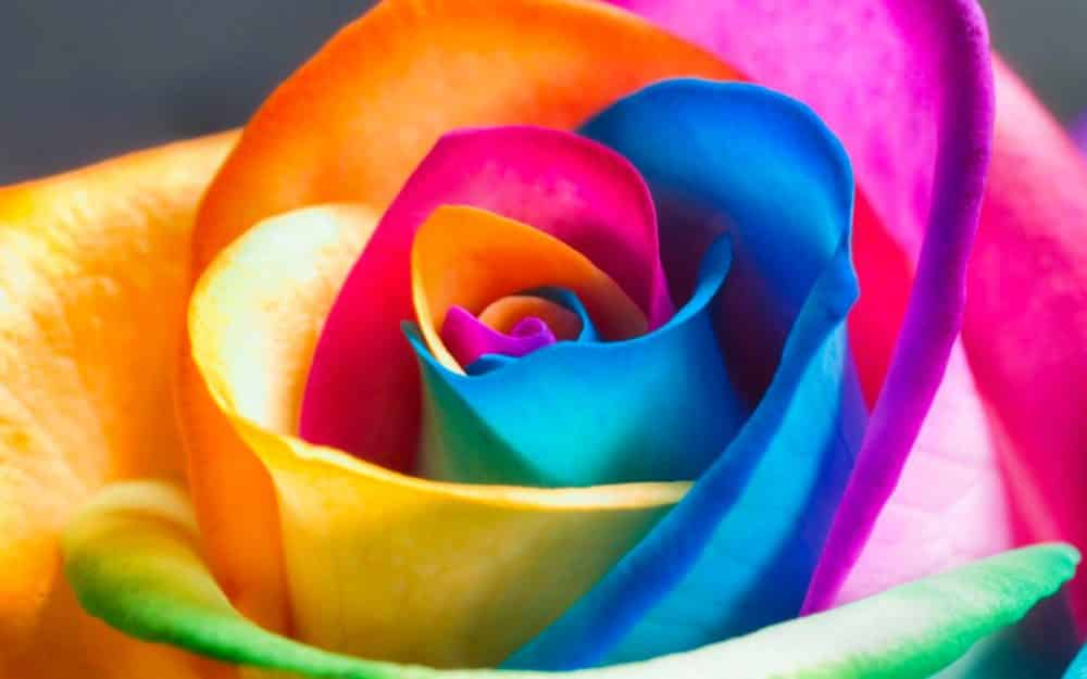 Roses multicolores en 3 tapes for Natural multi colored roses