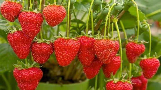comment faire pousser ind 233 finiment des fraises en int 233 rieur