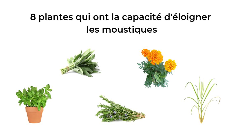 8 plantes qui ont la capacité d'éloigner les moustiques 6