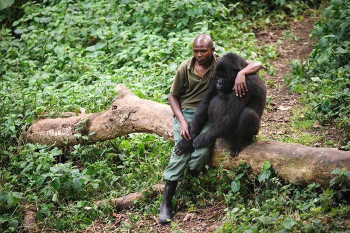 L'histoire de cette gorille et de ce garde d'un parc national est très émouvante! 2